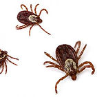 ticks-300x300.jpeg
