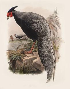 Euplocamus Andersoni  ( Daniel Giraud El