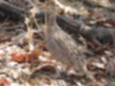 Peliperdix coqui vernayi - ibarlas inatu