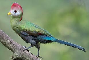 Erythrolophus Lawrence Neo www.flickr co