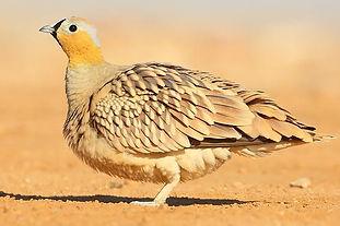 Coronatus Saturatuss Oman  Carlos N. G.
