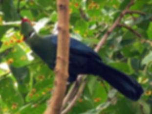 yellow-billed-turaco www.french.fansshar