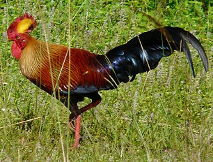 Foto di un grosso gallo neroXnxx cartone animato video di sesso