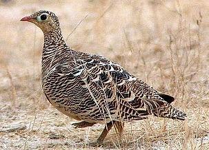 indicus female Jugal Tiwari  www.orienta