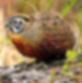 ocellatus pinterest com.jpg