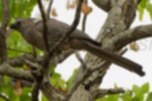Concololor moly Malawi  by fveronesi 1 w
