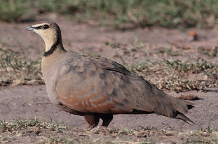 Gutturalis satur ( masai Mara Kenia ) ww