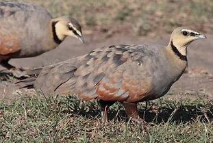 Gutturalis sturation ( Masai Mara Kenia