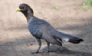 2 Crinifer zonurus ethiobirds.smugmug.co