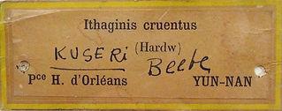 Kuseri descritto da Beebe 1912 -  6 ( ta