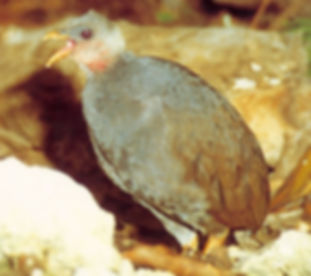 pritchardii www.birdlife org.jpg