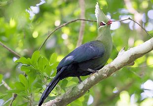 Cabanisii Marcel Holyoak www,flickr com.