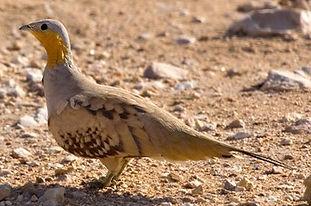 Senagallus Lasse Olson www.birding se.jp