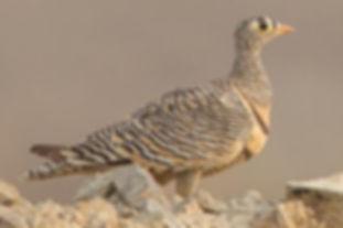 4  Lichtenstein arabicus Arabia saudita
