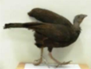 Talegalla jobiensis taenos com.jpg