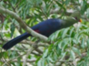 Tauraco macrorhynchus Ghana Nik Borrow w