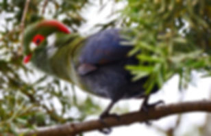 3 Leucotis donaldsoni grande ethiobirds.