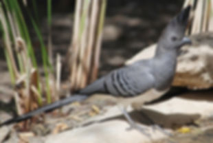 1 Corythaixoides leucogaster ethiobirds.