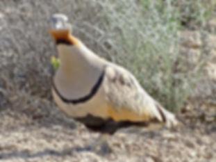 3 orientalis andrei vilyaev birds kz.jpg