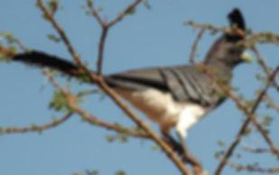 Corythaixoides-leucogaster femmina  Pete