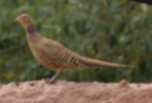 shawi 8 xinjiang.birds watch Liang Yong.