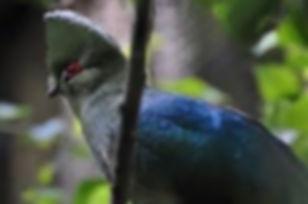 Tauraco-schuettii-emini-Truus & Zoo  fli