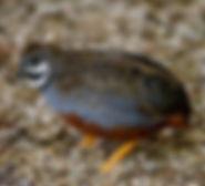 african-blue-quail- Adamsoni - www.kasan