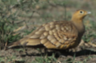 P. exsustus olivascens Ndutu Tanzania Ta