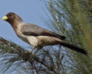 Piscator Gambia Steve Ray www.birdguides