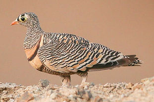 1 Lichtenstein arabicus Arabia saudita