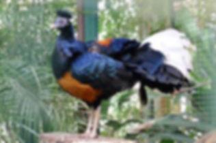 Macartneyi www zootierliste de.jpg
