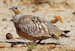 Coronatus astratus femmina Todo  Oman Au