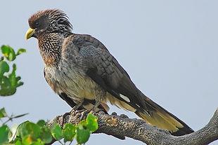 1 Crinifer zonurus ethiobirds.smugmug.co