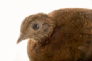 chalcurum scutulatum - Plzen Zoo ( repub