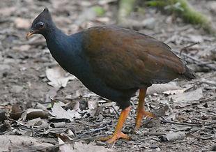 Megapodius reinwardt yorki www flickr co