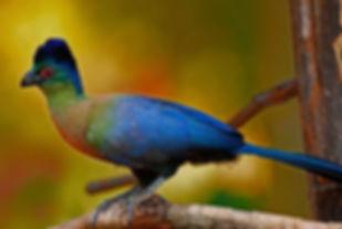 (Tauraco porphyreolophus) pinterest com.