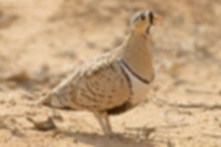 Decoratus ellenbecki ( Samburu N.P. Keny