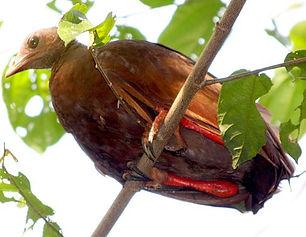 bernsteini Chris Goddie orientalbird.jpg