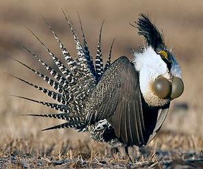 Gunnison Sage-Grouse_  www abcbirds org_