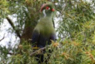 5 Leucotis donaldsoni ethiobirds.smugmug