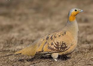 senegallus Pranjal J Saikia orientalbird