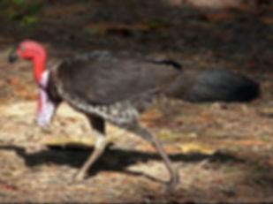 purpurei 2  www birdway com au.jpg
