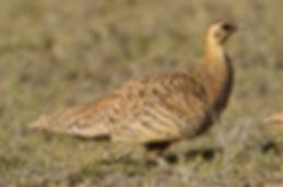 personatus_Frédéric_Pelsy_www.oiseaux_ne