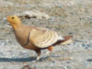 Pterocles erlangeri ( Oman ) www.kuwaitb