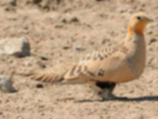 Male-Pallass-sandgrouse paradoxus.jpg
