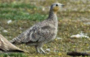 Coronatus Saturatus pare Masirah island,
