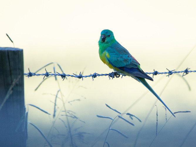 Red-Rumped Parrot.jpeg