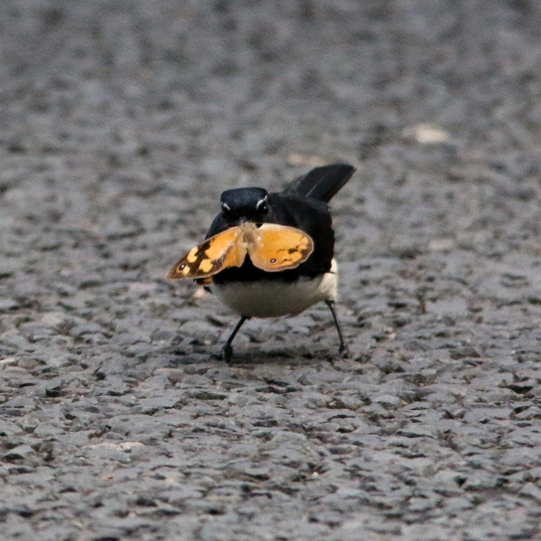 willy wagtail bringing home dinner