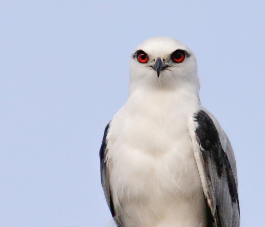 Black Shouldered Kite.jpeg