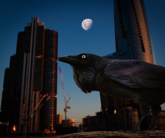 Ravens over Barangaroo.jpg